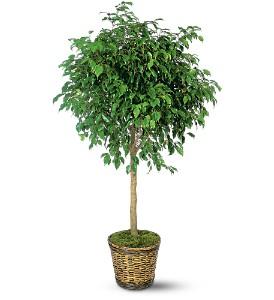Ficus_Tree.jpg