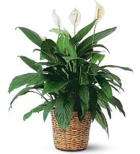 Spathiphyllum_Plant.jpg